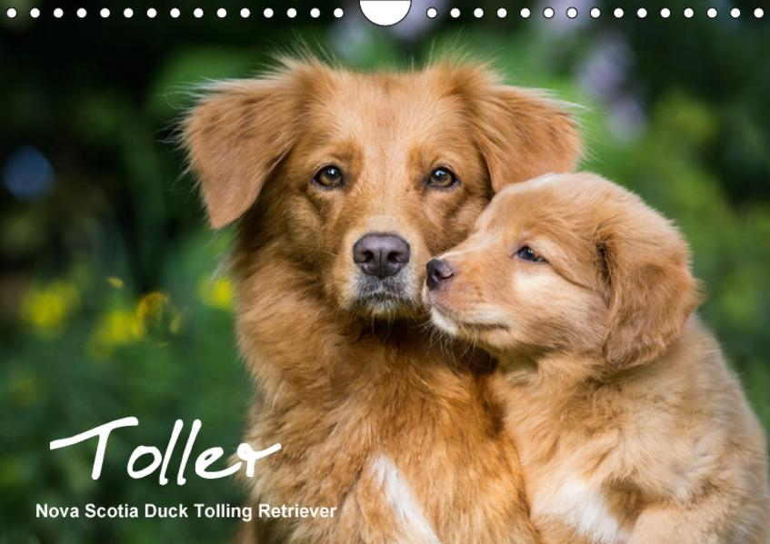 Toller - Nova Scotia Duck Tolling Retriever (Wandkalender 2017 DIN A4 quer) - Coverbild