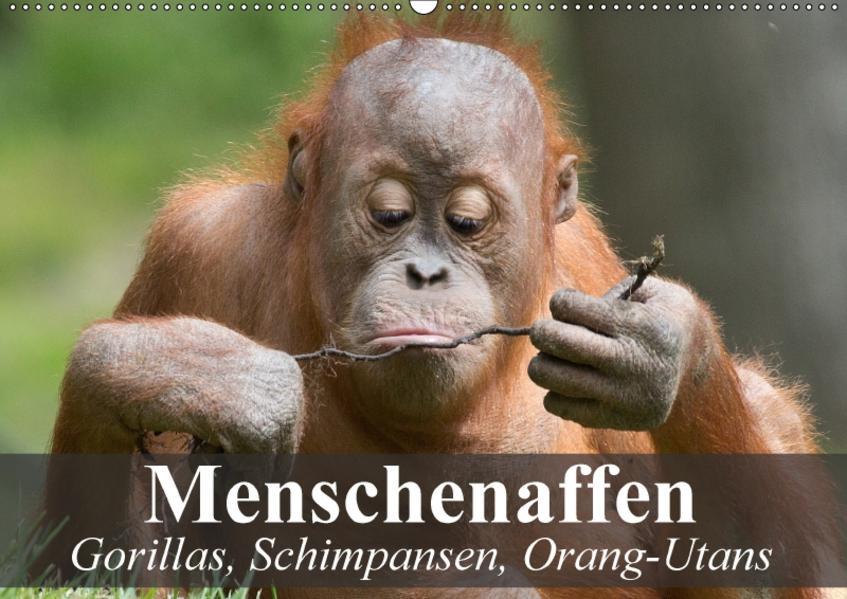 Menschenaffen. Gorillas, Schimpansen, Orang-Utans (Wandkalender 2017 DIN A2 quer) - Coverbild