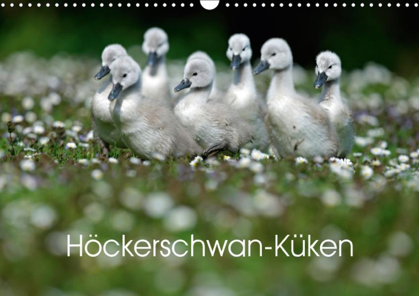 Höckerschwan-Küken (Wandkalender 2017 DIN A3 quer) - Coverbild