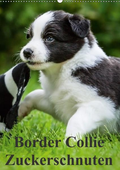 Border Collie Zuckerschnuten (Wandkalender 2017 DIN A2 hoch) - Coverbild
