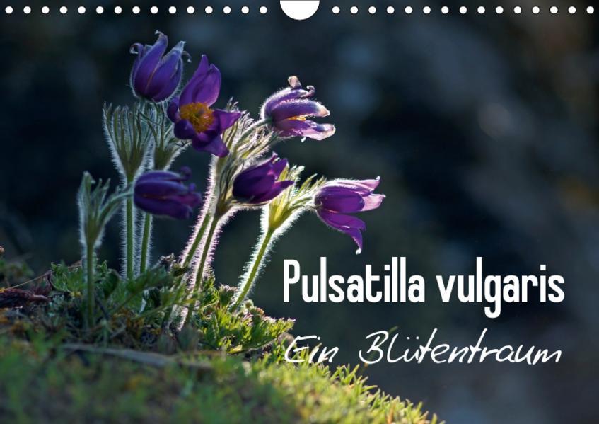 Pulsatilla vulgaris - Ein Blütentraum (Wandkalender 2017 DIN A4 quer) - Coverbild