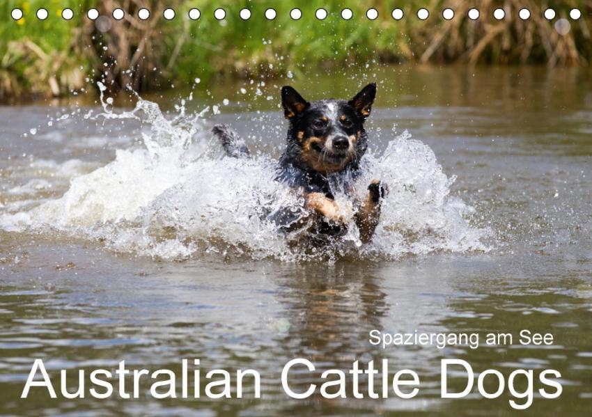 Spaziergang am See Australian Cattle Dogs (Tischkalender 2017 DIN A5 quer) - Coverbild