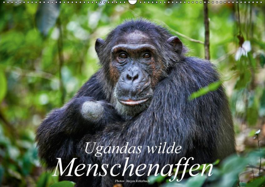 Ugandas wilde Menschenaffen (Wandkalender 2017 DIN A2 quer) - Coverbild