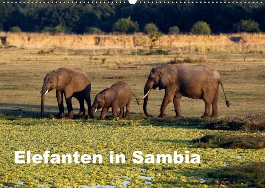 Elefanten in Sambia (Wandkalender 2017 DIN A2 quer) - Coverbild