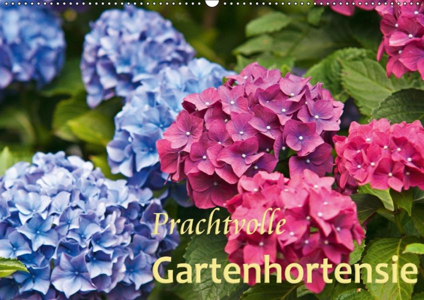 Prachtvolle Gartenhortensie (Wandkalender 2017 DIN A2 quer) - Coverbild