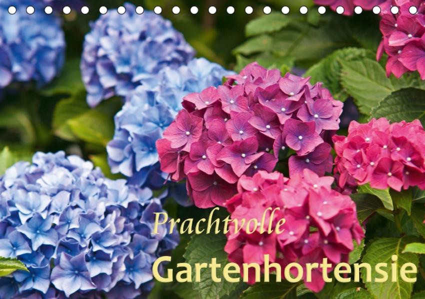 Prachtvolle Gartenhortensie (Tischkalender 2017 DIN A5 quer) - Coverbild