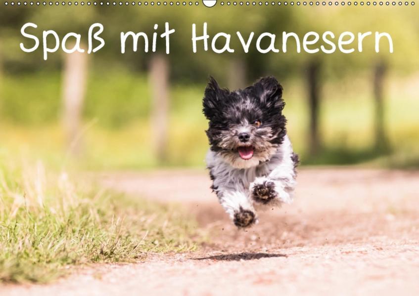 Spaß mit Havanesern (Wandkalender 2017 DIN A2 quer) - Coverbild