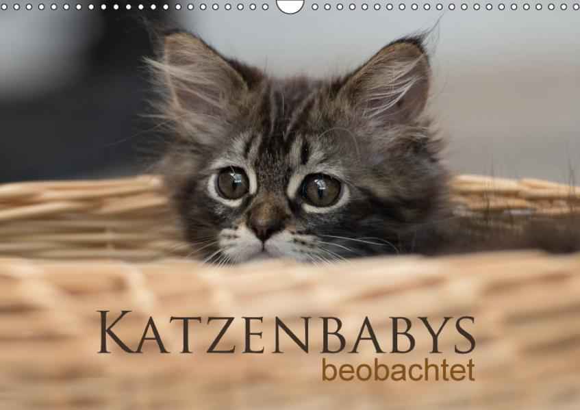 Katzenbabys beobachtet (Wandkalender 2017 DIN A3 quer) - Coverbild