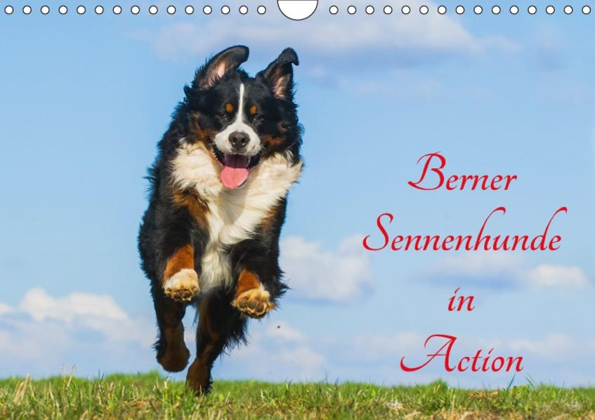 Berner Sennenhunde in Action (Wandkalender 2017 DIN A4 quer) - Coverbild