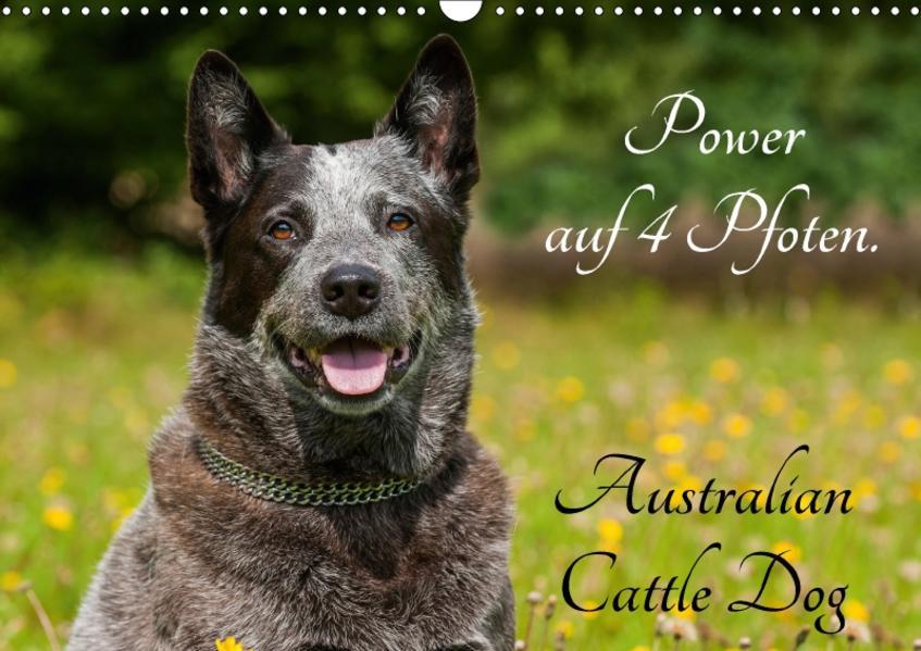 Power auf 4 Pfoten. Australian Cattle Dog (Wandkalender 2017 DIN A3 quer) - Coverbild