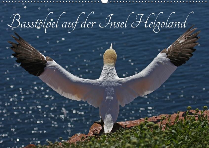 Basstölpel auf der Insel Helgoland (Wandkalender 2017 DIN A2 quer) - Coverbild