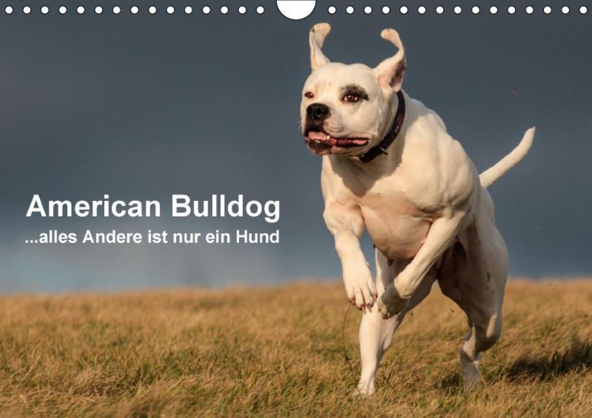 American Bulldog - alles Andere ist nur ein Hund (Wandkalender 2017 DIN A4 quer) - Coverbild