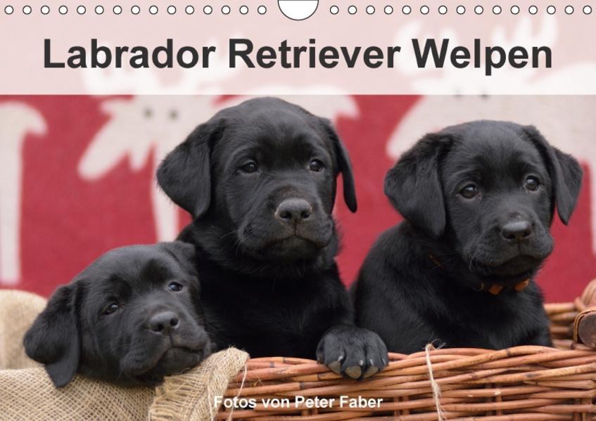 Labrador Retriever Welpen (Wandkalender 2017 DIN A4 quer) - Coverbild