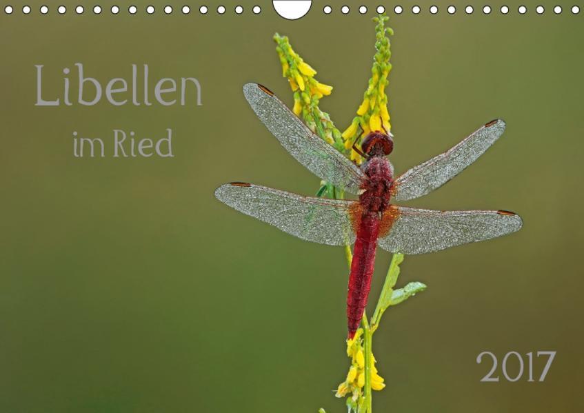 Libellen im Ried (Wandkalender 2017 DIN A4 quer) - Coverbild