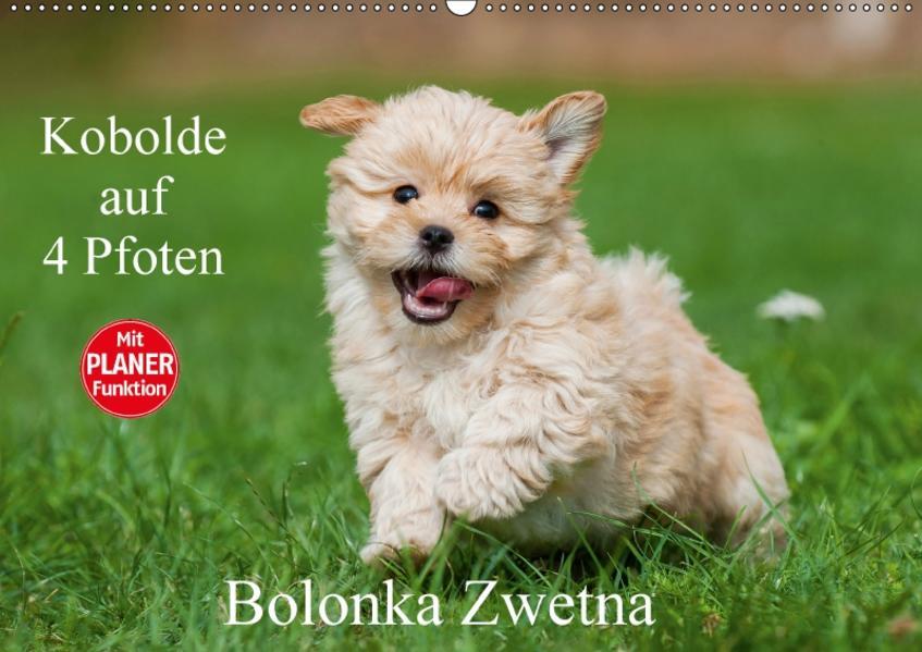 Kobolde auf 4 Pfoten - Bolonka Zwetna (Wandkalender 2017 DIN A2 quer) - Coverbild