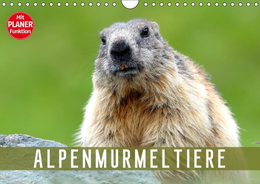 Alpenmurmeltiere (Wandkalender 2017 DIN A4 quer) - Coverbild