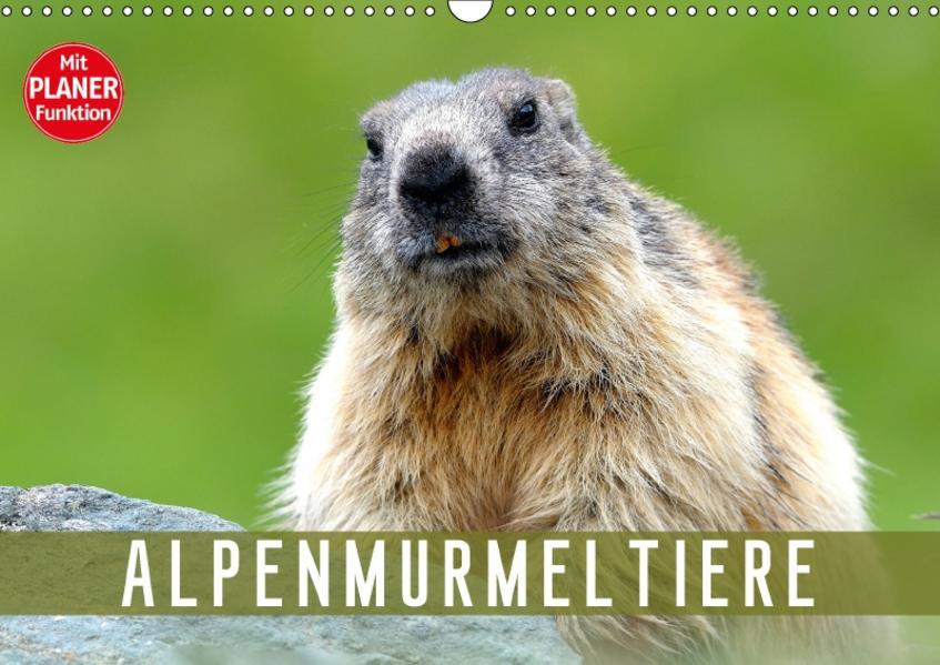 Alpenmurmeltiere (Wandkalender 2017 DIN A3 quer) - Coverbild