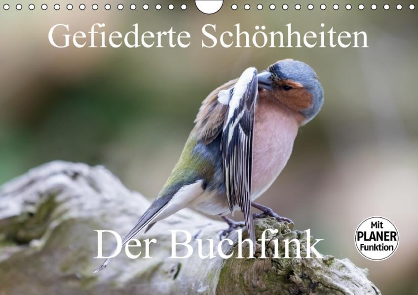 Gefiederte Schönheiten - Der Buchfink (Wandkalender 2017 DIN A4 quer) - Coverbild