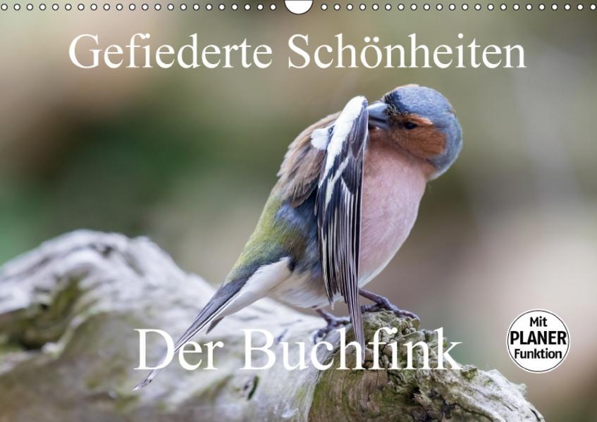 Gefiederte Schönheiten - Der Buchfink (Wandkalender 2017 DIN A3 quer) - Coverbild