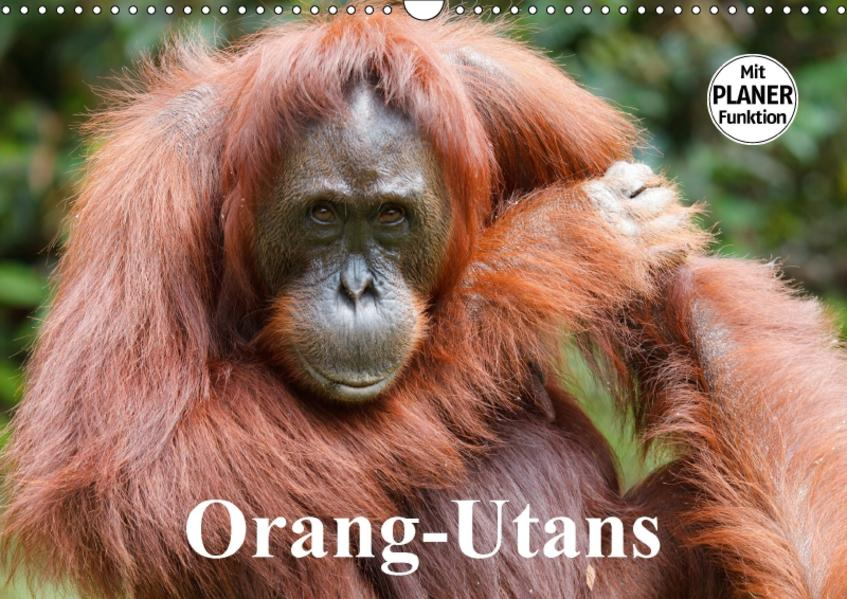 Orang-Utans (Wandkalender 2017 DIN A3 quer) - Coverbild