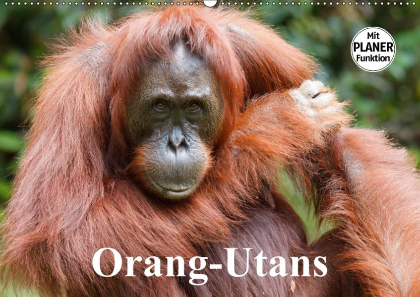 Orang-Utans (Wandkalender 2017 DIN A2 quer) - Coverbild