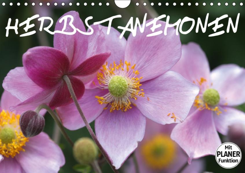 Herbstanemonen (Wandkalender 2017 DIN A4 quer) - Coverbild
