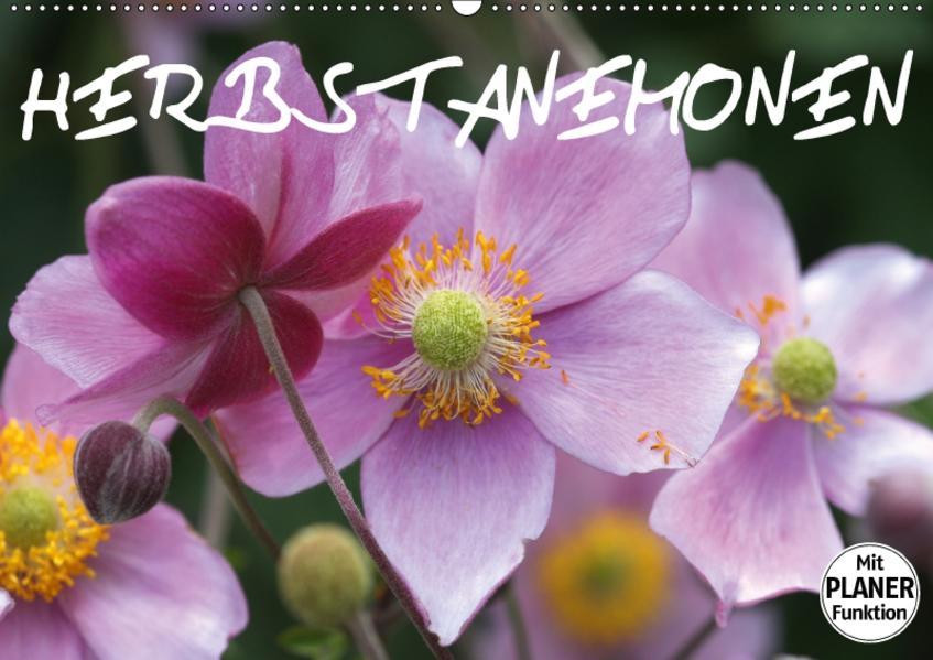 Herbstanemonen (Wandkalender 2017 DIN A2 quer) - Coverbild