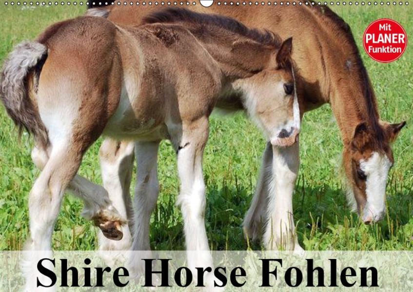Shire Horse Fohlen (Wandkalender 2017 DIN A2 quer) - Coverbild