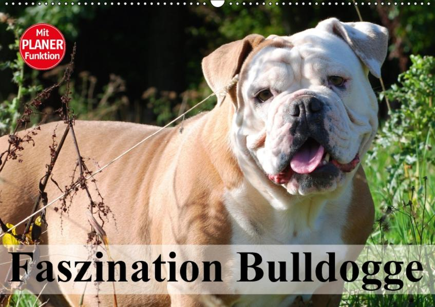 Faszination Bulldogge (Wandkalender 2017 DIN A2 quer) - Coverbild