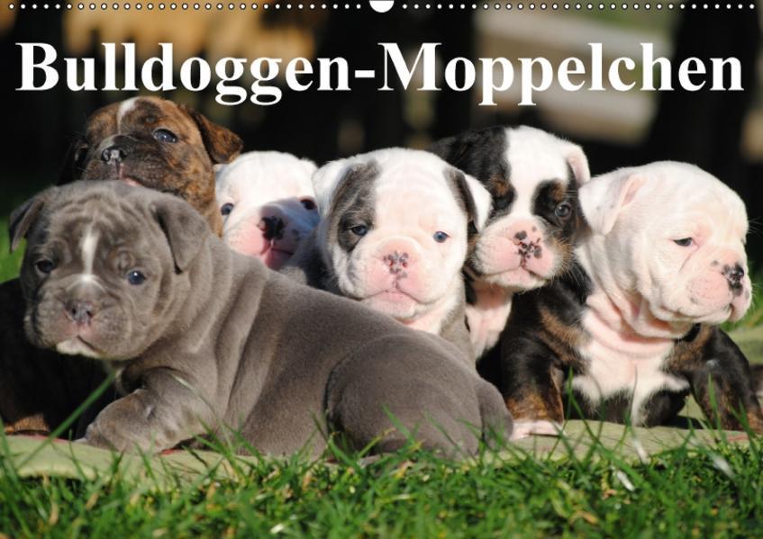 Bulldoggen-Moppelchen (Wandkalender 2017 DIN A2 quer) - Coverbild