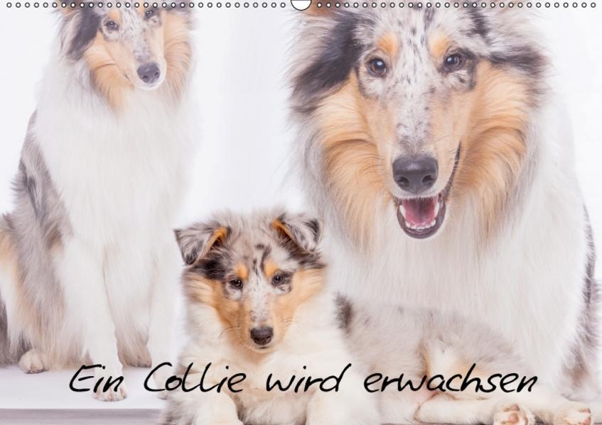 Ein Collie wird erwachsen (Wandkalender 2017 DIN A2 quer) - Coverbild