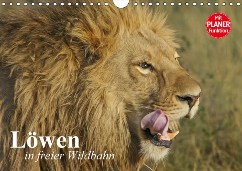 Löwen in freier Wildbahn (Wandkalender 2017 DIN A4 quer) - Coverbild