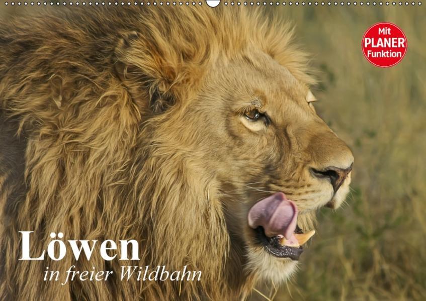 Löwen in freier Wildbahn (Wandkalender 2017 DIN A2 quer) - Coverbild