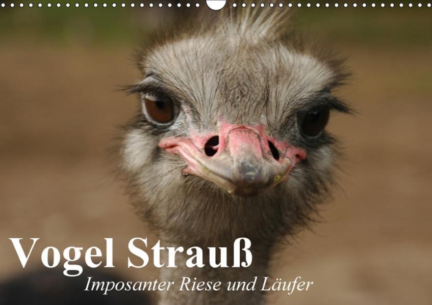 Vogel Strauß. Imposanter Riese und Läufer (Wandkalender 2017 DIN A3 quer) - Coverbild