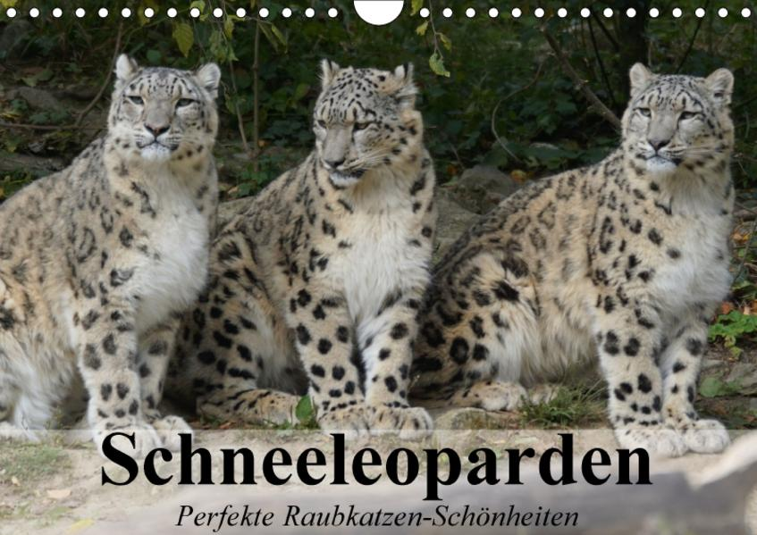 Schneeleoparden. Perfekte Raubkatzen-Schönheiten (Wandkalender 2017 DIN A4 quer) - Coverbild