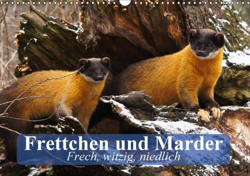 Frettchen und Marder. Frech, witzig, niedlich (Wandkalender 2017 DIN A3 quer) - Coverbild
