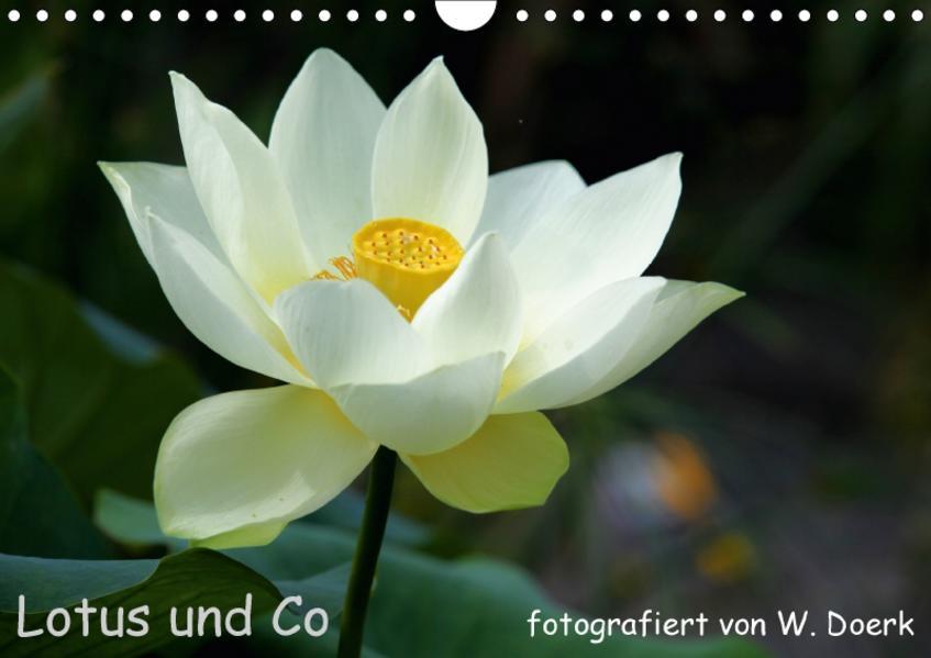 Lotus und Co (Wandkalender 2017 DIN A4 quer) - Coverbild