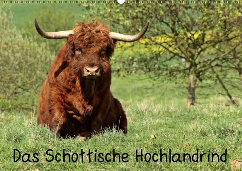 Das Schottische Hochlandrind (Wandkalender 2017 DIN A2 quer) - Coverbild