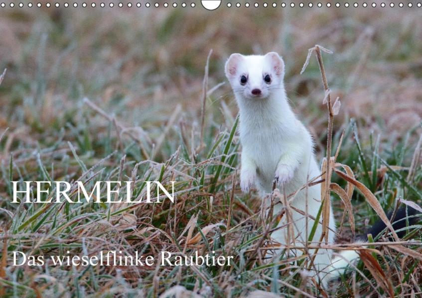 Hermelin - das wieselflinke Raubtier (Wandkalender 2017 DIN A3 quer) - Coverbild