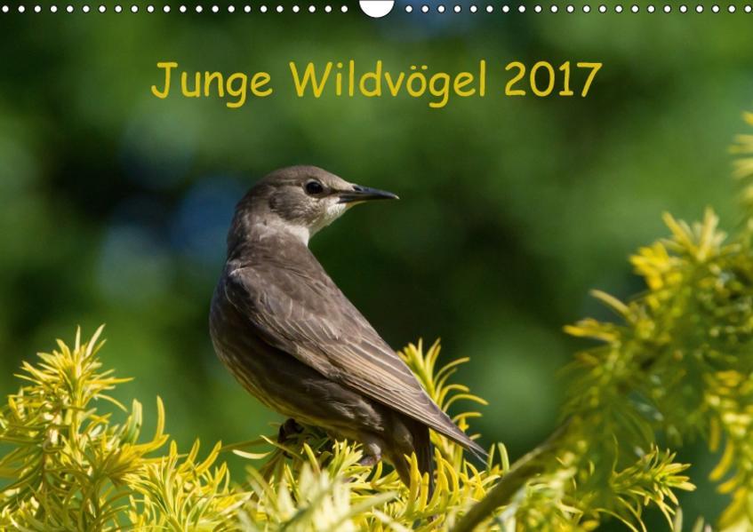 Junge Wildvögel (Wandkalender 2017 DIN A3 quer) - Coverbild